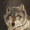 Alaskawolf / wilk / wolf